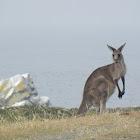 El canguro gris oriental