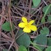 Redwood Violets