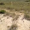 American Beachgrass