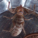 Pale windscorpion