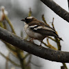 Sparrow Weaver - White-browed Sparrow-Weaver