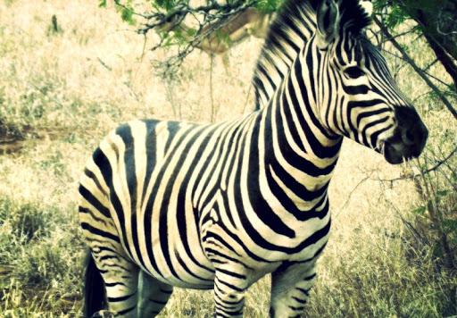 Zebra Live Wallpaper