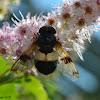 Pellucid Hoverfly