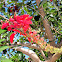 Tiger's Claw, Coral Tree