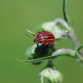 Little bug. by Silvana van Engelen - Animals Insects & Spiders ( red, nature, insect, stripe, beetle )