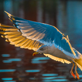 Seagull  by Johannes Mikkelsen - Animals Birds ( water, harbor, ocean, dock, norway, bird, gull, halden, seagull, fly, d800, norge, nikon, flight, , colorful, mood factory, vibrant, happiness, January, moods, emotions, inspiration )