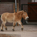 Przewalski's horse (2)