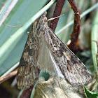 Lucerne moth