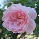 Pink Cascade Rose