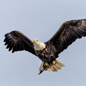 by Ray Weigand - Animals Birds ( davenport, iowa, quad cities, 2015, january, lock & dam 14, lock & dam 15, eagles, bird, fly, flight )