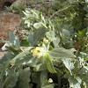 Hyoscyamus albus (Beleño)