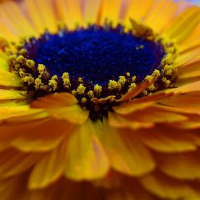 Spreaded Petals by Pritam Saha - Flowers Single Flower ( macro, single, color, pheonix, flower,  )
