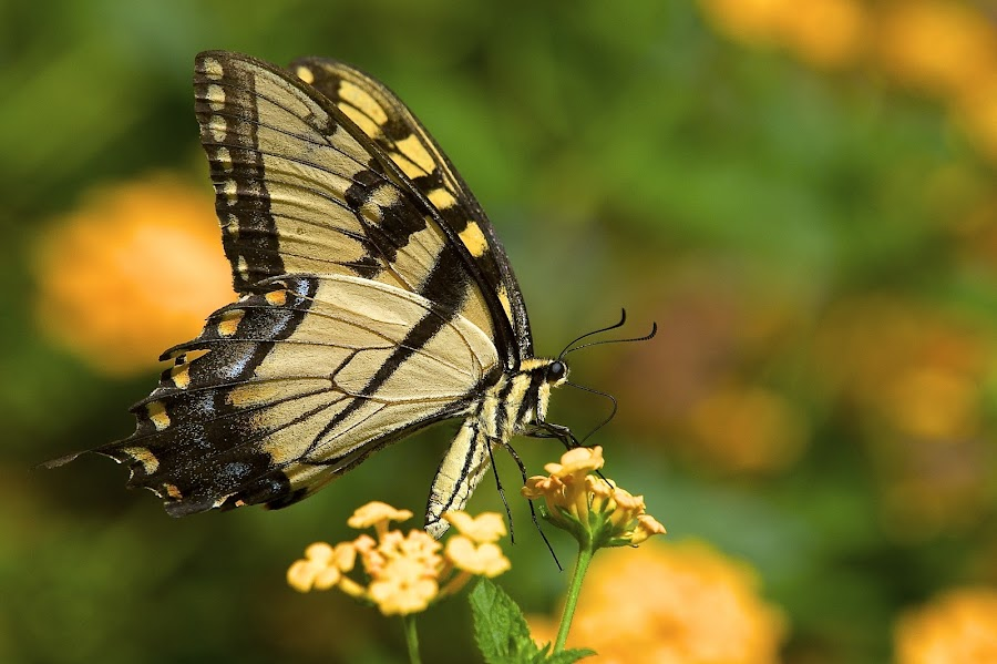 Tiger In The Yard by Roy Walter - Animals Insects & Spiders ( tiger swallowtail, butterfly, animals, nature, insect )