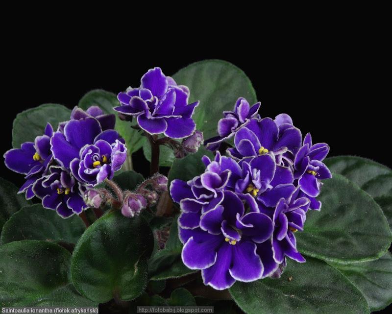 Saintpaulia ionantha - Fiołek afrykański, sępolia