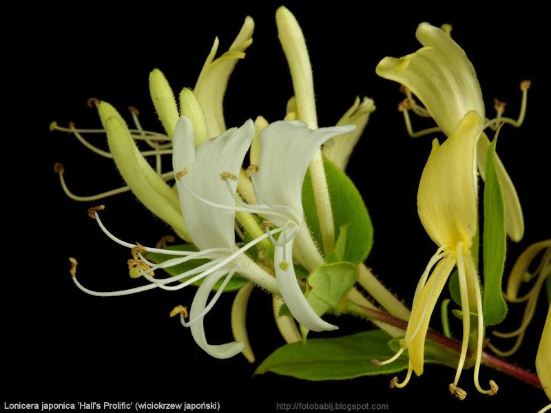 Lonicera japonica 'Hall's Prolific' flowers  - Wiciokrzew japoński 'Hall's Prolific' kwiaty