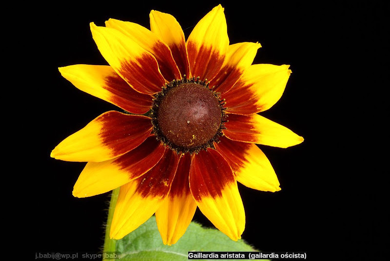 Gaillardia aristata flower - Gailardia oścista kwiat