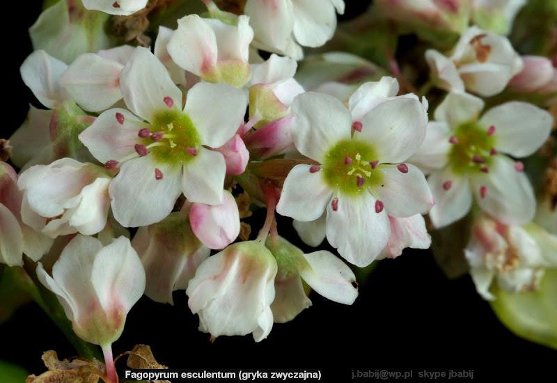 Fagopyrum esculentum (gryka zwyczajna) kwiaty forma biała