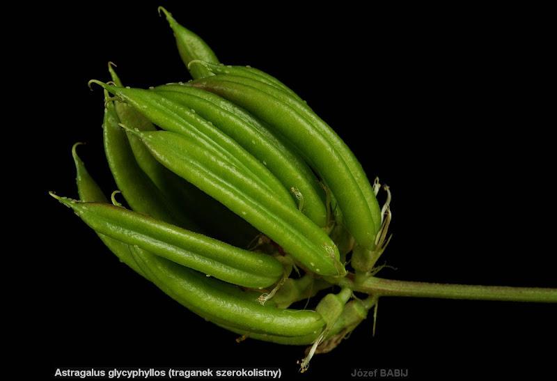 Astragalus glycyphyllos fruits - Traganek szerokolistny owoce