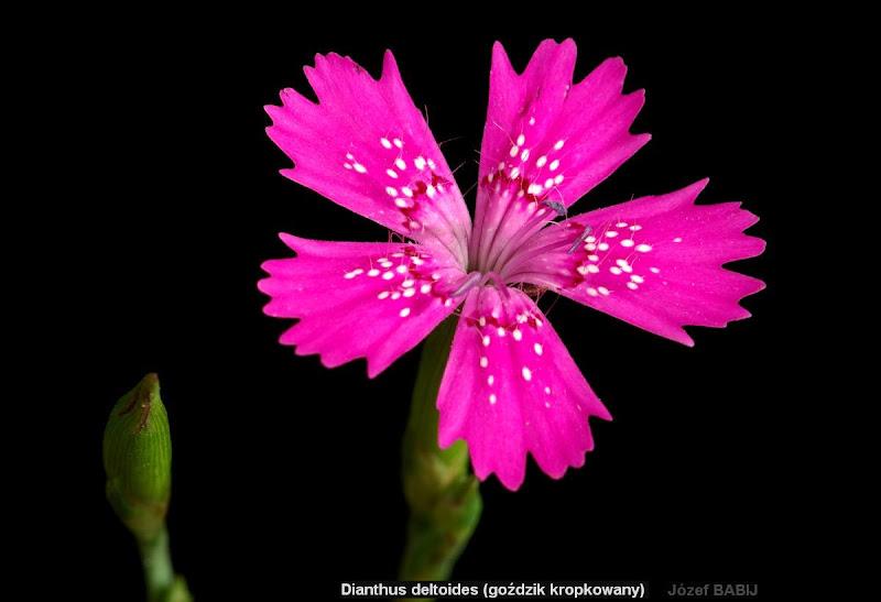 Dianthus deltoides flower - Goździk kropkowany kwiat