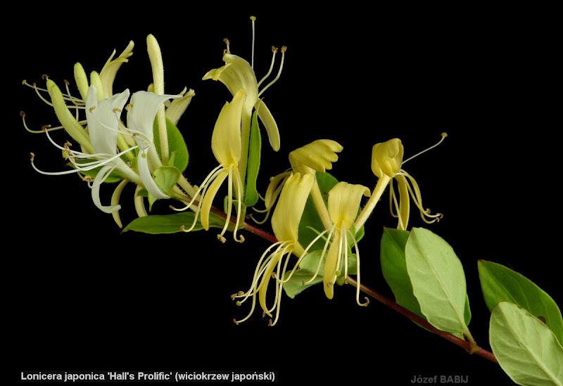Lonicera japonica 'Hall's Prolific' inflorescence - Wiciokrzew japoński 'Hall's Prolific' kwiatostan