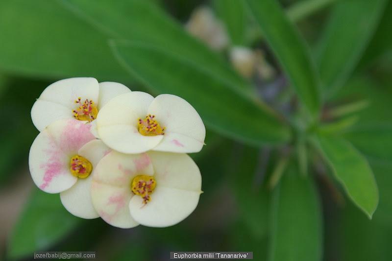 Euphorbia milii 'Tananarive' flowers - Wilczomlecz lśniący 'Tananarive' kwiaty