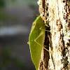 Lesser angel-winged katydid