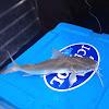 Fork-tailed catfish