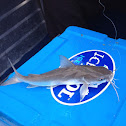 Fork-tailed catfish