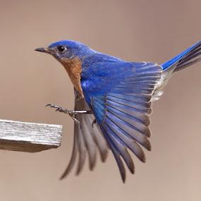 The Color Blue by Herb Houghton - Animals Birds ( bluebird, wild, nest box, herbhoughton.com, songbird, eastern bluebird )