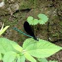 Ebony jewel wing damselfly