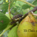 Figtree Borer