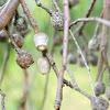 Cupmoth pupae