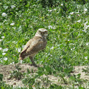 Northern Burrowing Owl