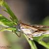 Devastating Grasshopper (Nymph)