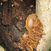 Wood-ear (Auricularia auricula)