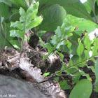 Oak Leaf Fern / Pakpak Lawin