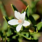 Queensland Wax Flower