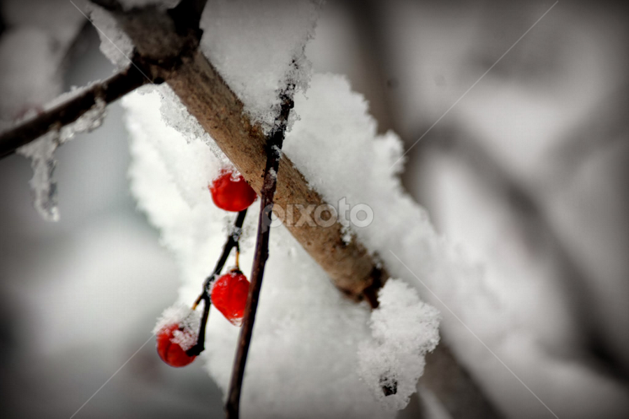 Snow Berries by Tracey Doak - Novices Only Flowers & Plants ( contrast, winter, red, snow, berries )