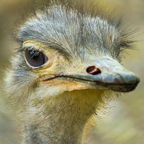 Common Ostrich by Golam Kibria Sumon - Animals Birds ( bird, bangladesh, nature, ostrich, wildlife, birds,  )