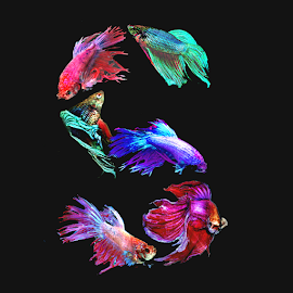 fighting fish S by Janna Morrison - Typography Words ( s )