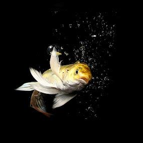 Little Fish by Benyamin Kristiawan - Animals Fish ( kumpai, freshwater fish, koi, gold fish )