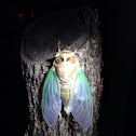 Green winged Cicada