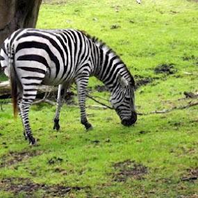 Grazing Zebra by Nikki Kean - Animals Other Mammals ( zoo, grass, zebra, stripes, animal )