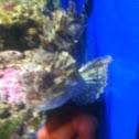 Scorfano nero - black scorpionfish