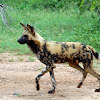 African Wild Dog - Endangered