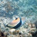Reef Triggerfish/ humuhumunukunukuapua'a