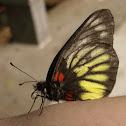 報喜斑粉蝶,Red-base Jezebel