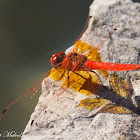 Orange-winged Dropwing