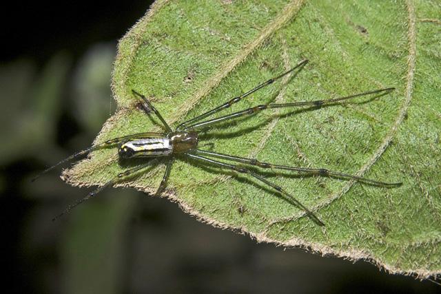 Decorative Leucauge Spider