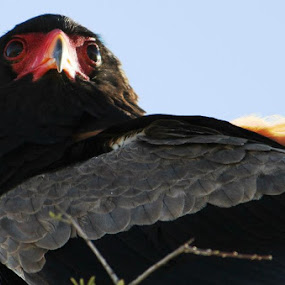 Bateleur Eagle by Arun Prasanna - Animals Birds ( #eagle eye #eye #sharpness #look #watch )